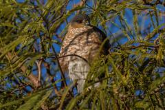 IMG_2962 sharp shined hawk (starc283) Tags: flickr flora flicker starc283 bird birding birds nature naturesfinest naturewatcher hawk sharpshinedhawk