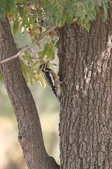 Yellow-bellied Sapsucker (robfray) Tags: yellowbellied sapsucker reid park tucson arizona usa