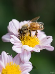 Honeybee (takapata) Tags: sony sel90m28g ilce7m2 macro nature insect bee