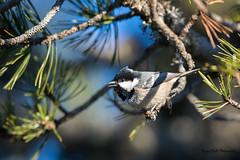 L'appel de la petite noire (Jacques GUILLE) Tags: oiseau plateaudebeille ariège mésangenoire coaltit paridés passériformes periparusater bird
