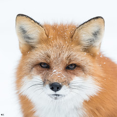 ''L'hiver!'' Renarde-fox (pascaleforest) Tags: animal nature winter hiver passion nikon wild wildlife faune québec canada snow neige