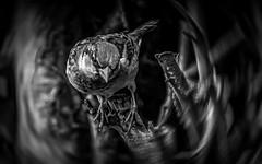 Moineau. (Crilion43) Tags: réflex région objectif feuilles divers centre canon arbres véreaux noiretblanc cher arbre oiseaux matérielphoto moineaux tamron animaux 1200d arbustes villes