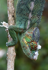 Fresh colours (johco266) Tags: panthercameleon chameleon nikon nature natuur natur naturaleza macro macrophotography madagascar reptielen reptiles reptiel reptile lagarto lizard eidechse caméléon peyrierasreptilereserve coth5 specanimalphotooftheday sunrays5