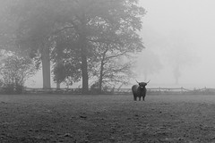 Highland cattle (koen_jacobs) Tags: cow mist blackandwhite fog