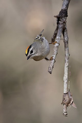 Golden-crowned Kinglet (Greg Lavaty Photography) Tags: goldencrownedkinglet regulussatrapa texas january brazosbend statepark ftbendcounty birdphotography outdoors bird nature wildlife