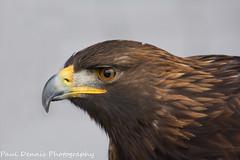 Golden Eagle. (minar5) Tags: birds golden eagle birdbirdsofprey nikon d7100 carmarthenshire bird prey