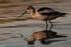 Panning for dinner (Jasper's Human) Tags: americanavocet