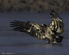 2I1A2944a (lfalterbauer) Tags: baldeagle canon nature wildlife 7dmarkii ornithology avian birdsofprey raptor lake dslr digital camera