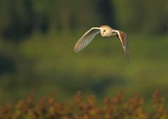 Hunting Barn Owl   (Tyto alba) Dorset (minvallaa) Tags: barnowl owl hunting evening male dorset hedgerow grassland bird raptor