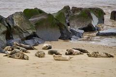 Seals at Horsey. (Paul Webb.) Tags: seals greyseals horsey norfolk uk