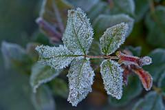 Iced Leaves (pstenzel71) Tags: blätter natur pflanzen leaves leaf winter frozen frost ice eis darktable bokeh