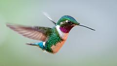 White-bellied Woodstar (mathurinmalby) Tags: animal bird whitebelliedwoodstarchaetocercusmulsant wildlife chaetocercusmulsant colombia cundinamarca hummingbird birdinflight