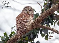 Winter Roost ❄️ (DTT67) Tags: winter bird nature canon wildlife owl barredowl 1dxmkii