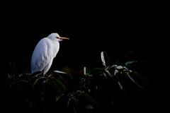 Cattle Egret in Taipei 2019 (Gomen S) Tags: animal wildlife nature taiwan taipei park morning asia 2019 winter 80400mm d500 nikon bird