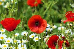 P1020191 (alainazer) Tags: esparrondeverdon provence france fiori fleurs flowers fields champs colori colors couleurs coquelicot poppy papavero