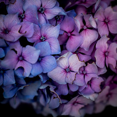 purple&pink (marinachi) Tags: hortensia hydrangea purple pink flowers macro closeup germany bochum sundaylights