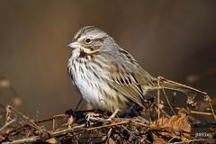Song Sparrow (jt893x) Tags: bird d500 jt893x melospizamelodia nikon nikond500 sigma sigma150600mmf563dgoshsms songsparrow songbird sparrow