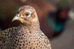 Mrs Pheasant (Maria-H) Tags: phasianuscolchicus pheasant female martinmere wwt burscough lancashire uk olympus omdem1markii panasonic 100400