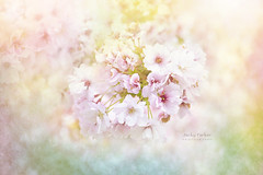 Sweet Cherry Blossom (Jacky Parker Photography) Tags: cherryblossom bloom springtime springflowering springgarden springblossom closeup freshness fragility beautyinnature purity dreamlike flower flora textured floralart flowerphotography nikond750 uk