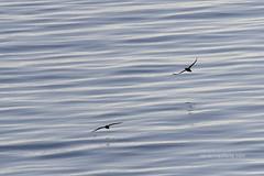 Pardelas (Xavier Mas Ferrá) Tags: pardela virot mediterráneo mediterraneansea silueta agua mar calma bird