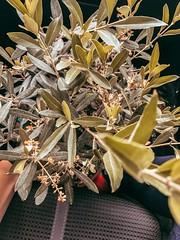 Olive tree (info@ukr.media) Tags: olive houseplants olivetree green