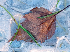 Frozen (Bad Kicker) Tags: leaf ice winter frozen nature gleaf gi would love this leafstudybba hrefhttpswwwflickrcomgroups3767320n25 img srchttpsfarm2staticflickrcom1898448111462117ebb43989bmjpg width240 height192 altgroundcoverfantasy a please join group i groupi
