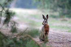 Resting hare / Zając szarak (Lepus europaeus) (Grefer) Tags: hare wildlife nature nikond300s nikkor300mmf4afs nikkortc14eii poland