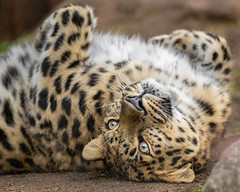 Satka's Cuteness and Charm (Penny Hyde) Tags: amurleopard bigcat leopard sandiegozoo