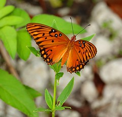 Gulf Fritillary Butterfly Agraulis vanillae at the Oleta river state forest. Miami , Florida. #butterfly #lepidoptera #insect #bug #florida #nature #wildlife #wild #life #sonyrx10iv #orange #black #fall #cute #love #animal #leaves #photography #art #visio (Caracalla9) Tags: love photooftheday florida naturephotography lepidoptera cute sun life sonyrx10iv travelphotography fall leaves butterfly insect photographer wildlife art nature black photo creative orange vision bug light animal wild photography