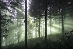 Argia eta lainoa pinudian (Jabi Artaraz) Tags: paz sosiego serenidad rayos luz light basoa bosque abetos