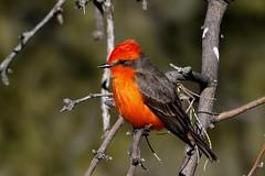 Vermilion Flycatcher m. (Bobby Mou) Tags: tucson flycatcher bird crimson red