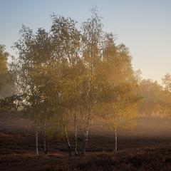 Birches in the morning mist (wiscmic) Tags: goldenhour deutschland nebel landschaft nature germany heidekraut nrw naturschutzgebiet natur bäume trees haltern baum tree heide sunrise sonnenaufgang landscape nsg goldeneslicht nordrheinwestfalen westruperheide halternamsee