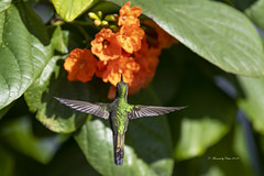 Cuban Emerald Hummingbird wings (Canon Queen Rocks (3,263,000 + views)) Tags: bird birds hummingbird cubanemeraldhummingbird greens emerald small wildlife wings wild nature flowers orange leaves shrubs cuba travels