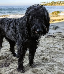 "The ""time to go home"" look (Bennilover) Tags: lagunabeach benni dog dogs dogsatthebeach labradoodle bennigirl"
