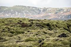 Sur tapis vert (Papayankee33) Tags: lakilava boîtieretobjectifs natureetpaysages continentsetpays matériel mousse techniquephoto végétaux islande nikond750 europe nikon70200f4gvr is isl iceland skaftárhreppur suðurland