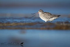 Bar-tailed godwit (Matt Hazleton) Tags: bartailedgodwit wader bird nature animal outdoor wildlife canon canoneos7dmk2 canon500mm matthazleton matthazphoto rspb rspbtitchwellmarsh rspbtitchwell norfolk titchwell titchwellmarsh limosalapponica beach sea shore sand