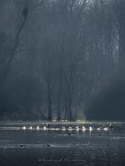 .... ....... (Bertrand Thiéfaine) Tags: faune hiver marais eau sauvage canards arbres maraisdegoulaine loireatlantique brume matin course remous
