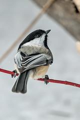 Black-Capped Chickadee (Gf220warbler) Tags: idaho chickadee poecile paridae passerine songbird