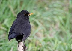 Merle (boblecram) Tags: turdus merula merle passereau bird oiseau nature ornithologie ornithology