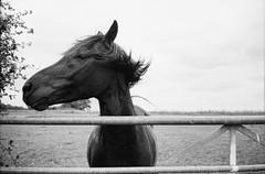 Ricoh 500RF - Ilford Delta 100 Pro (1) (meniscuslens) Tags: horse gate heath reach vintage film camera ricoh 500rf ilford delta mono monochrome bw bnw bedfordshire