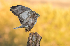 Common Buzzard / Poiana (CRISTIANO TEDESCO) Tags: raptors raptor bird birds buzzard poiana buteo cristiano tedesco naturephoto nature natur natura hd 5k wildnature wildlife wildphotography wings winged