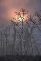 """Mystic Forest"" (Peter Daum 69) Tags: sunset sonnenuntergang nebel fog wald forest baum bäume sonne sun dream traum mystic mystik landschaft landscape scenery sonnenaufgang sunrise stunningnature licht light lightwork artwork art magie magic farbe color canon eos tree trees nature natura natur"