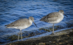 Willets at the shoreline (trishhartmann) Tags: birds florida fredhowardpark willet nikon p900 nikonp900 tringasemipalmata scolopacidae sandpipers shorebirds
