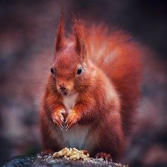 Die Nuss ist geknackt! 🌰 (Christian Passi - Steher82) Tags: nuts eichhörnchen squirrel wildlife photography nature natur natura rombergpark redsquirrel cute ekorre sonya6500 germany park tier animal eyes eye outdoor january sel70200gm