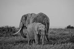(Prajna Nairobi) Tags: amboseli elephants motherandthekid blackandwhite bw evening kenyawildlife