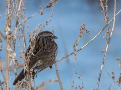 Song Sparrow (Melospiza melodia) (Chub G's M&D) Tags: avian utah aves melospizamelodia birds sparrow farmingtonbaywma songsparrow birdphotography birding