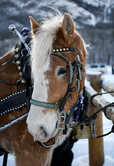 """Butch"" at the Hitching Post (Anthony Mark Images) Tags: butch horse beautifulhorse malehorse belgianhorse hitchingpost mountains snow harness bells brownandwhite banff winter wintersleighride warnerstables alberta canada nikon d850 flickrclickx jinglebells"