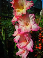 Gladiolus (cloversun19) Tags: oxalis garden butterfly dahlia bright water flowe cactus symmetry tenderness plant pollen briar wildrose roseship color colour june spring onerose image picture flowerimage flowerpicture flowering bloom blossom blossoming blooming happy fairytale charm glory beauty girlfriend dating date table room dream dreams gift pink petals curtain green home romantic love aroma macro flower flowers pinkrose rose queenrose dogrose narcissus tulip flowerincup gladiolus