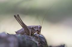 Pholidoptera griseoaptera (De Geer, 1773), female (Benjamin Fabian) Tags: pholidoptera griseoaptera saltatoria orthoptera grass hopper ensifera insect hexapod arthropod close up macro bokeh insecta arthropoda hexapoda sel90 sony a6000