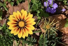 Double Gazania (MJ Harbey) Tags: gazania flower yellowflower yellowgazania eudicot asterales asteraceae cichorioideae nikon d3300 nikond3300